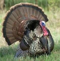 Vehtiya | Див пуяк / Wild turkey | 2 харесвания