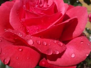 Tonitoni7 | Роза | 35 харесвания